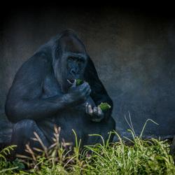 Gorilla Dag .