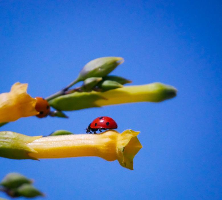 Lady bugs  -