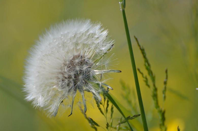 Zachte natuur - Deze uitgebloeide paardenbloem stond in een veldje boterbloemen die op dat moment nog wel bloeiden en waarvan het geel zich vermengt m
