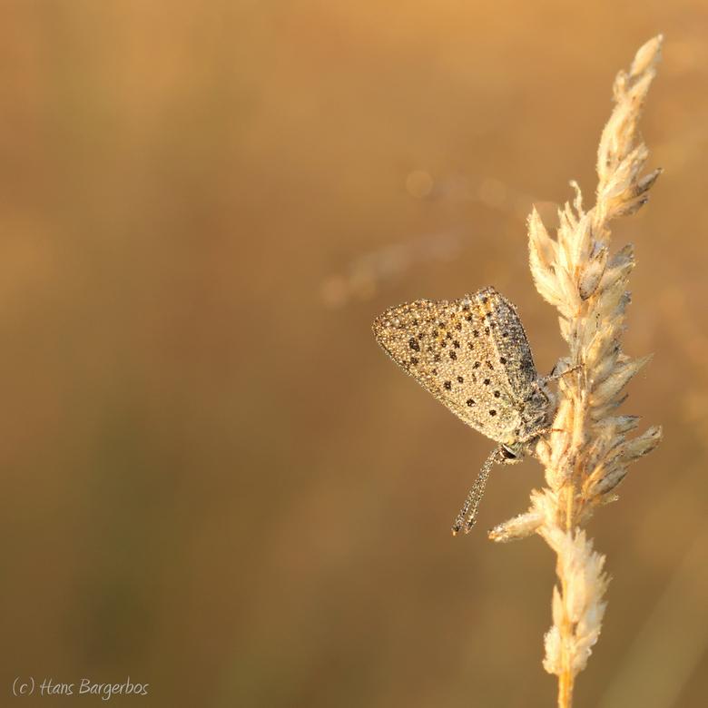 Goodmorning Delleboersterheide! - Nog een van afgelopen zomer...<br /> Deze bruine vuurvlinder zat heerlijk op te warmen in de eerste stralen van de