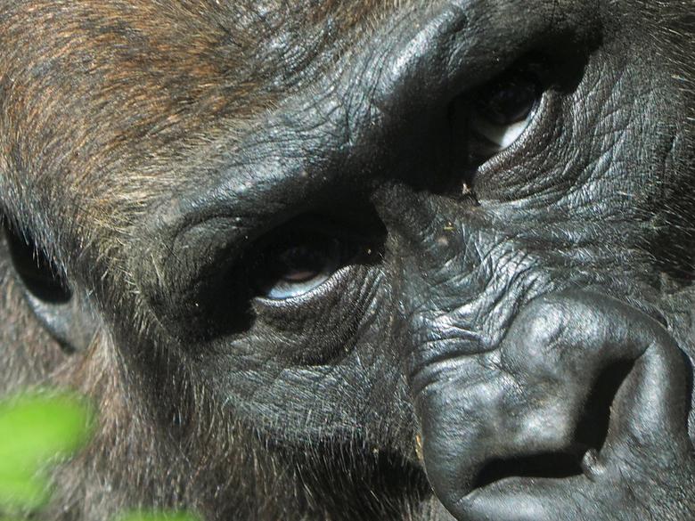 gorilla - Mijn camera in Artis gisteren uitgeprobeerd deze is niets aan gedaan  en ik kan weer door heel dik glas fotograferen enz. Deze kanjer wilde