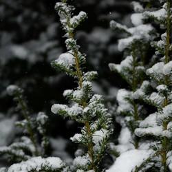 Sneeuw op de planten