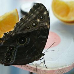 Vlinder aan het eten