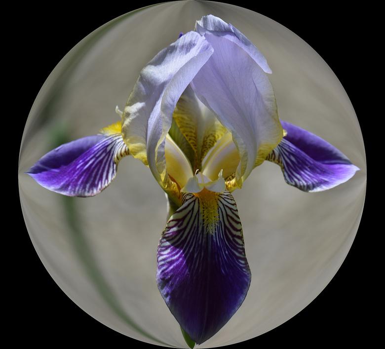 Iris. -