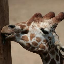 likkende giraf in Dierenpark Amersfoort