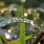 Druppels op grasspriet