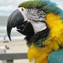 Blauw-Gele Ara Rico kijkt vol verbazing naar de strand-gangers, 27-8-2018.