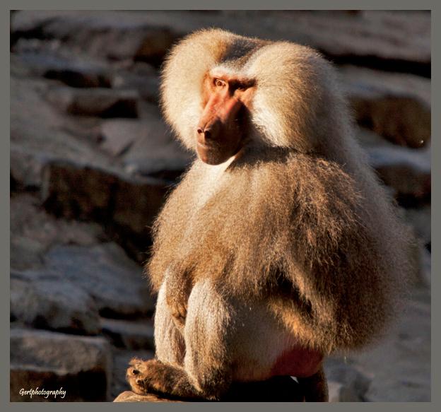Baviaan - Was vroeg in de dierentuin van Emmen en trof deze baviaan aan terwijl hij genoot van de opkomende zon.