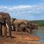 Drinkende olifanten