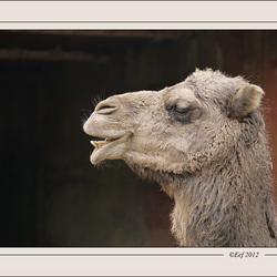 Verlegen kameel