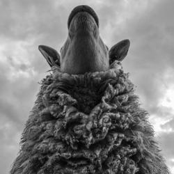 BW Sheep