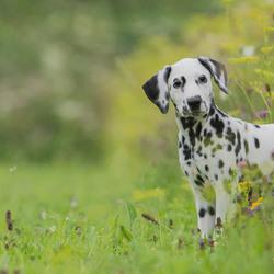 Dalmatier pup