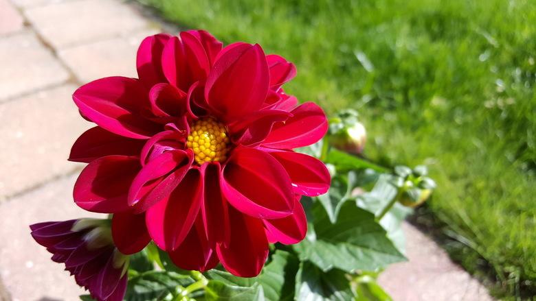 Dahlia - De van oorsprong Mexicaanse Dahlia staat voor weelde, pracht en elegantie. De bloem staat symbool voor liefde en betrokkenheid. De bloem dank