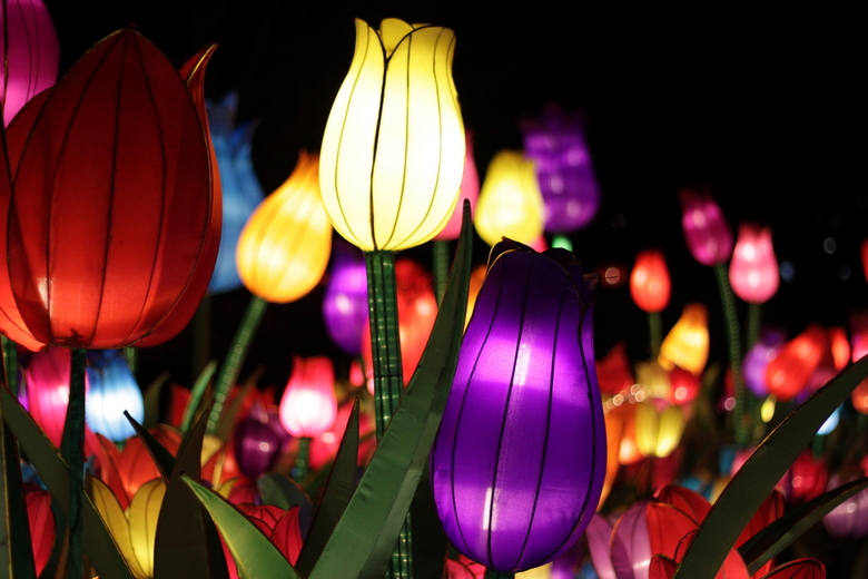 Tulpen China Light Rotterdam - Tulpen China Light Rotterdam
