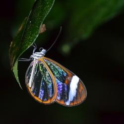 Doorzichtige vlinder