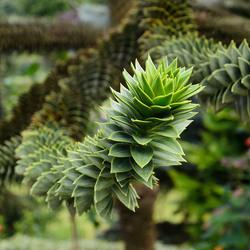 Dennentak (als slang in de boom)_DSC5558