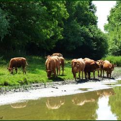 Koeien in een natuurlijke omgeving....
