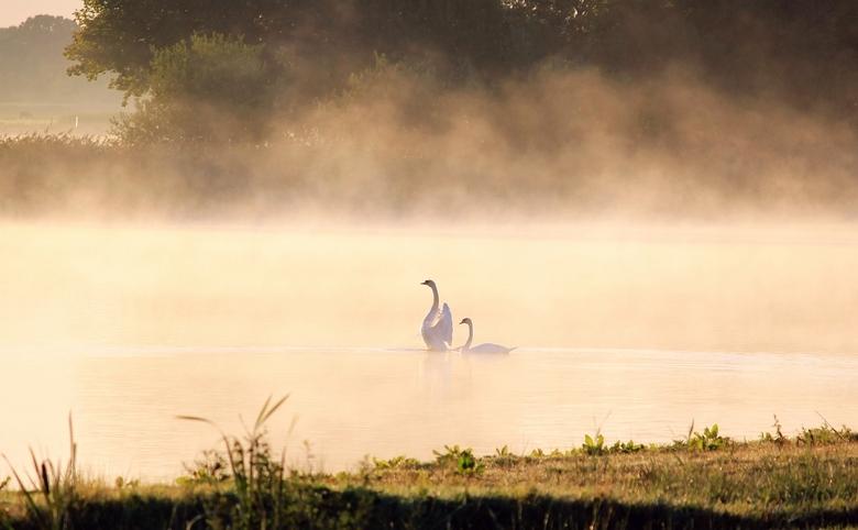 Zwanen in ochtend mist - Onderweg naar Lemmer zag ik dit uit een ooghoek