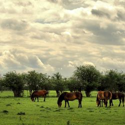 Wilde paarden Keent