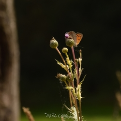Kleine vuurvlinder