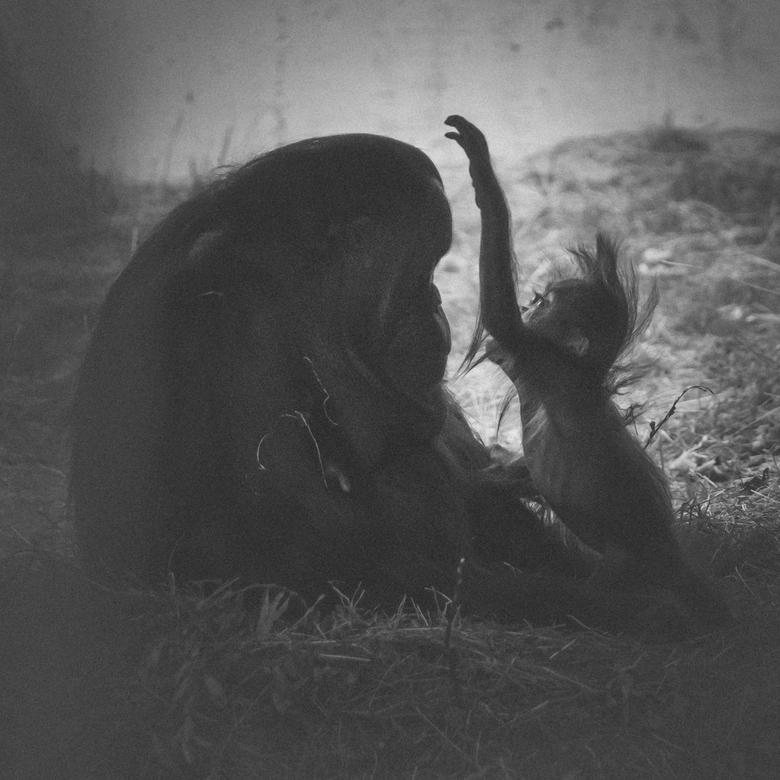 aai - gister naar Ouwehands Dierenpark geweest. Met deze foto&#039;s was ik wel blij. <br /> moeder en kind samen. Ze straalde zo&#039;n rust en kalm