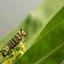 Rups van Monarchvlinder