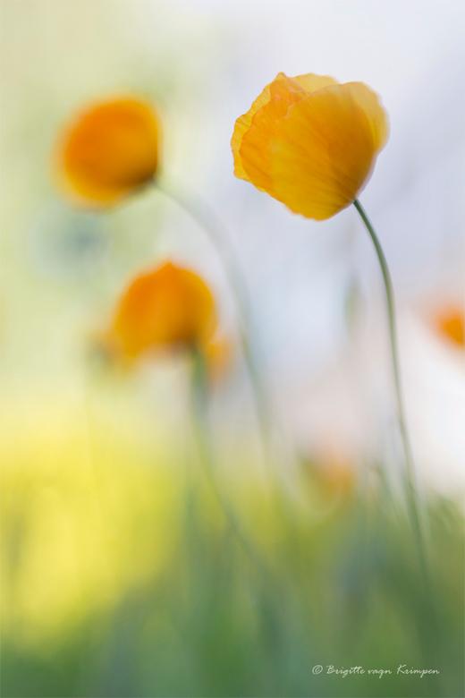 Orange Impressionism - Iedereen bedankt voor de fijne reacties op mijn vorige upload<br /> Deze heerlijke schilderachtige poppy&#039;s staan gewoon i