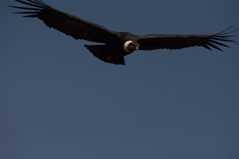 Peruaanse Condor