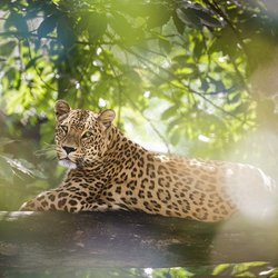 Perzisch luipaard - Safaripark Beekse Bergen