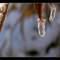 Frozing Leafs