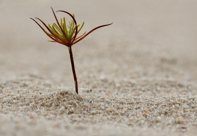 Minimalistisch - Een jonge loot (spar?) in het kootwijkse zand.