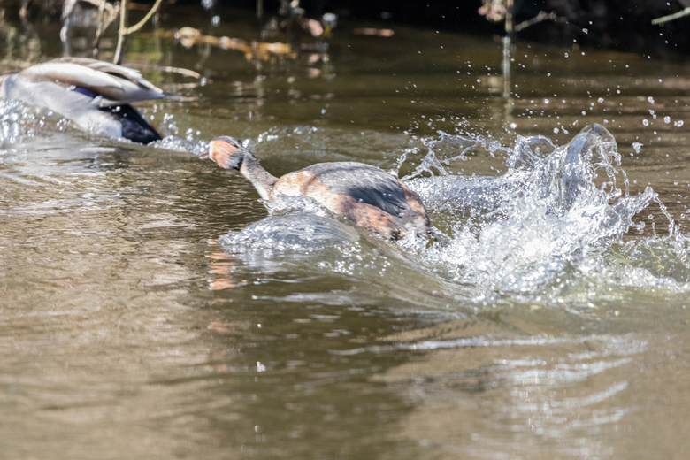 Fuut in actie... - 6 april &#039;18<br /> <br /> De fuut duld geen andere watervogels in de buurt, hij gaat er meteen achteraan om ze weg te jagen.<