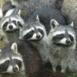 Familie wasbeer