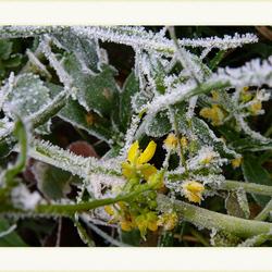 Winterbloeier