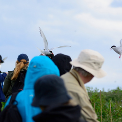 Attack of the Tern