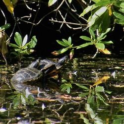 Schildpad (2)