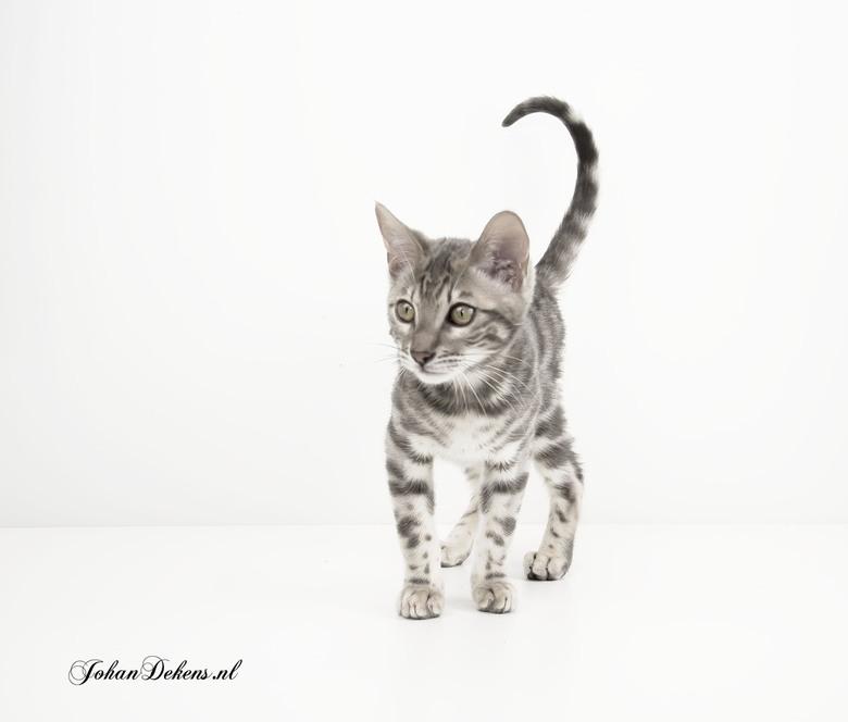Bengaalse kat - Bengalen zijn aanhankelijk, slim en ontzettend speels en actief. Ze kunnen echt uren aan een stuk spelen en door huis sprinten om daar