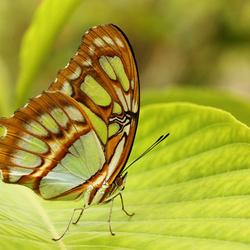 vlindertuin Blijdorp: Stiproeta Stelenes.