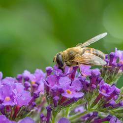 Zweefvlieg op vlinderstruik
