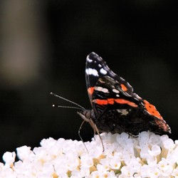 Mjammie nectar