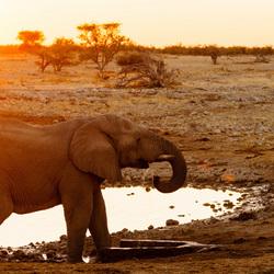 Dorstige Olifant Bij Zonsondergang
