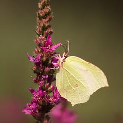 citroen vlindertje
