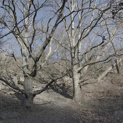 bomen in duinen