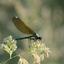 Libelle in de ochtend
