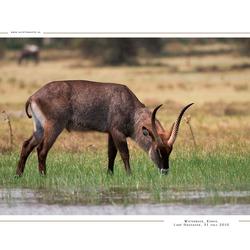 Defassa waterbuck, Kenia