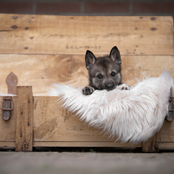 Wolfhond puppy