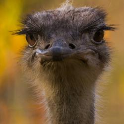 Portret struisvogel