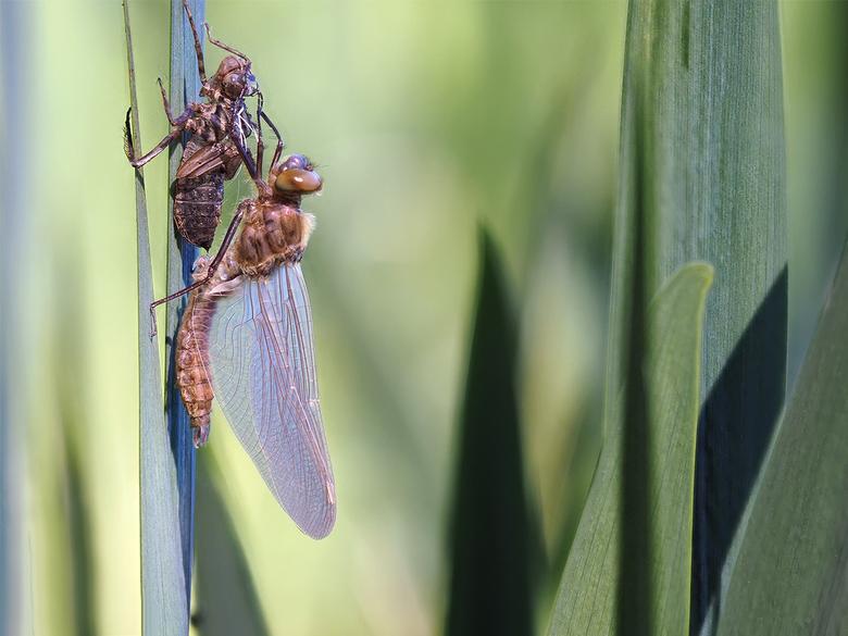 Uitsluipen... - van een smaragdlibel. Foto 5<br /> <br /> Heb vorige week het uitsluipen van de libel gevolgd! Een prachtig gezicht van de geboorte