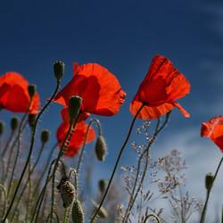 Poppys in the sky