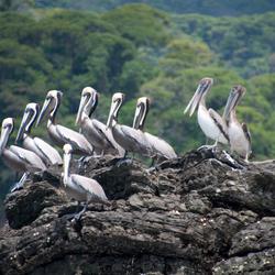 Pelicanen